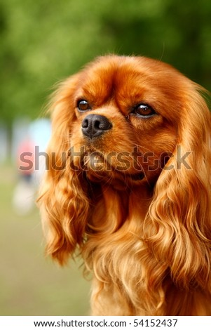 Portrait of cavalier King Charles Spaniel. Shallow DOF - stock photo