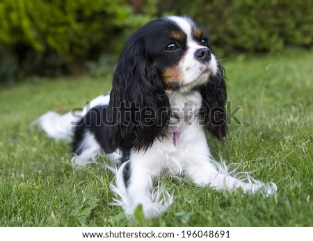 portrait of cavalier spaniel in the garden