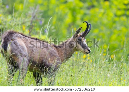 portrait of chamois browsing in grassland (Rupicapra rupicapra)