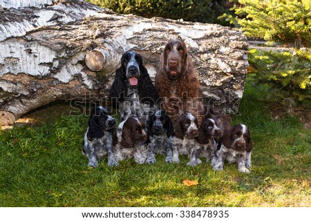 portrait of champions of English Cocker Spaniel family outdoor - stock photo