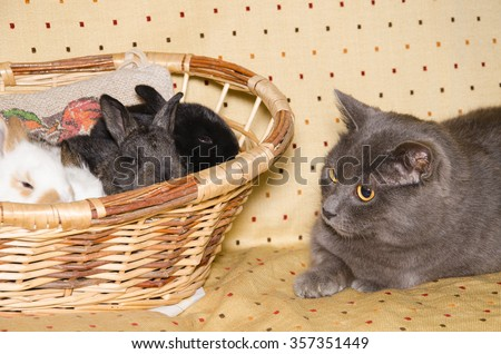Portrait of chartreux cat looking baby rabbits on the basket. - stock photo