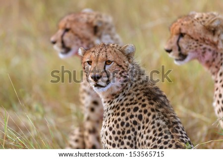 Portrait of Cheetah Amanis cub with two siblings in the background after eating in Masai Mara, Kenya - stock photo