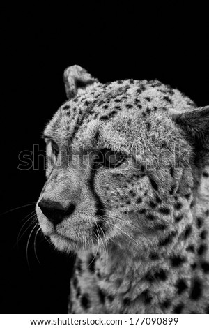 Portrait of cheetah in black and white
