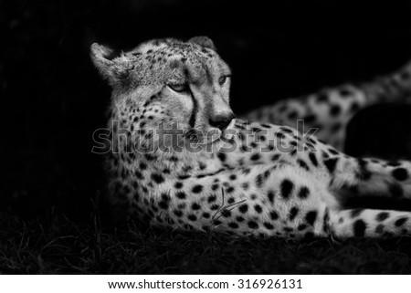 Portrait of Cheetah Malaika in Masai Mara, Kenya - stock photo