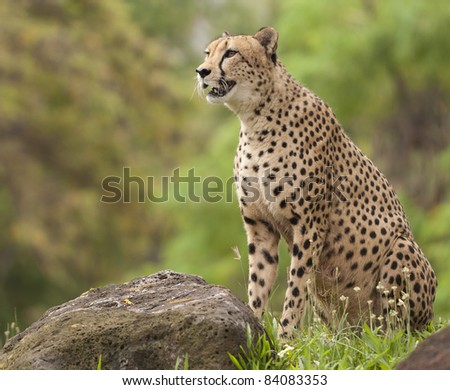 Portrait of Cheetah standing by rock with mouth open - stock photo