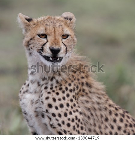 Portrait of cheetah youngster showing teeth
