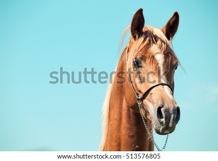 portrait of  chestnut arabian colt at sky background