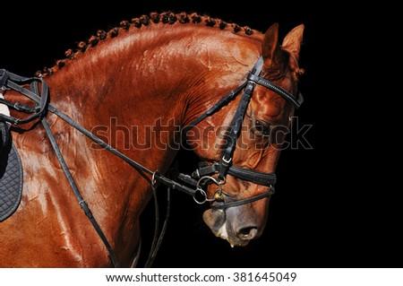 Portrait of chestnut horse isolated on black - stock photo