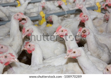 Portrait of chicken broilers. Poultry farm - stock photo