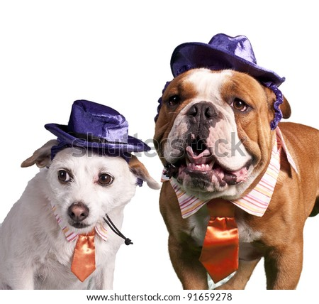 Portrait of chihuahua and bulldog - stock photo