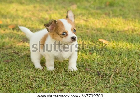 Portrait of chihuahua puppy in green nature