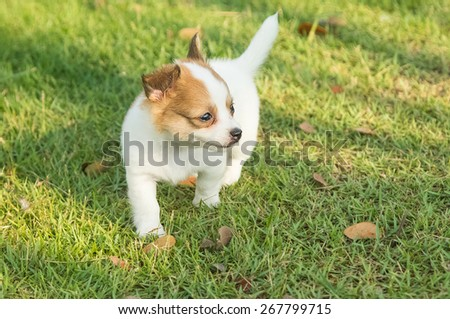 Portrait of chihuahua puppy in green nature - stock photo