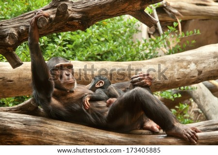 Portrait of chimpanzee (chimp) with baby at the zoo on brown-green background. Outdoor, close up (Loro Park -?? Tenerife, Canary islands, Spain). - stock photo