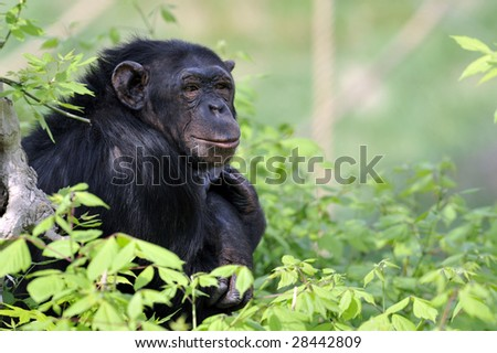 Portrait of chimpanzee in a zoo.