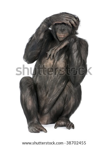 Portrait of chimpanzee with hand on head sitting in front of white background, studio shot.  (Mixed-Breed between Chimpanzee and Bonobo) (20 years old)