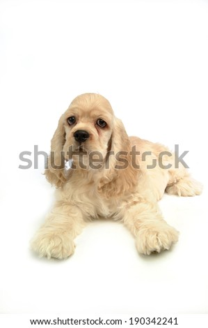 Portrait of Cocker Spaniel puppy lying
