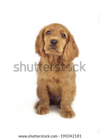 Portrait of Cocker Spaniel sitting