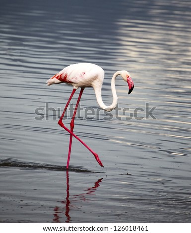 Portrait of Colorful Pink Flamingo on Pond in the Serengeti Tanzania Africa - stock photo