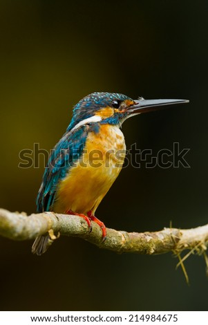 Portrait of Common Kingfisher in nature at Khaoyai national park, Thailand  - stock photo