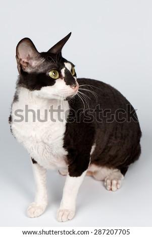 Portrait of Cornish Rex Sits on White Background - stock photo