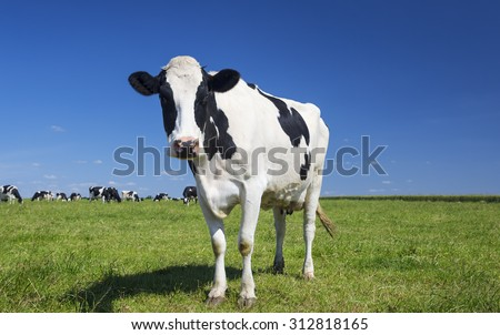 Portrait of cow on green grass with blue sky - stock photo