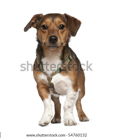 Portrait of crossbreed dog, 2 years old, standing in front of white background
