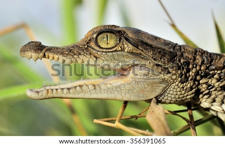 Portrait of Cub of a crocodile. Small crocodile cub already with a rage, threatening, opens a large-toothed mouth. New Guinea - stock photo