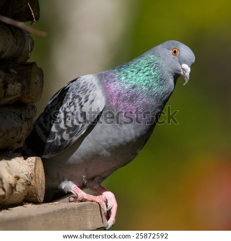 portrait of curious pigeon on a birdhouse - stock photo