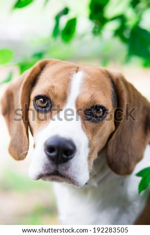 Portrait of cute beagle dog looking into the camera - stock photo