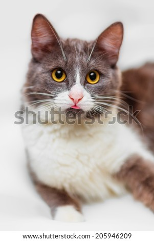 Portrait of cute cat showing tongue (shallow dof) - stock photo