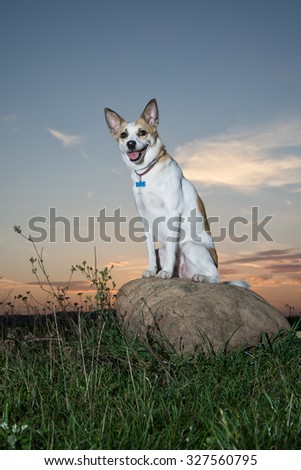 portrait of cute dog sitting on a big stone in the grass at sunset - stock photo