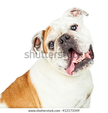 Portrait of cute English Bulldog tilting head with tongue out.