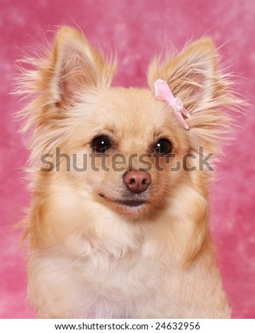 Portrait of cute little dog with pink bow