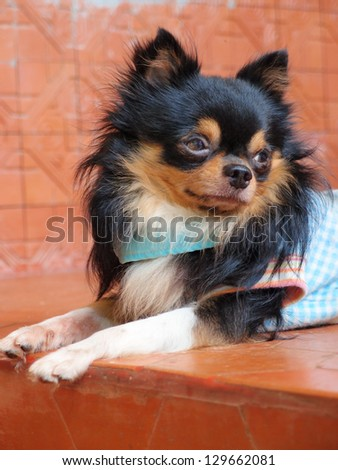 Portrait of cute long haired chihuahua - stock photo