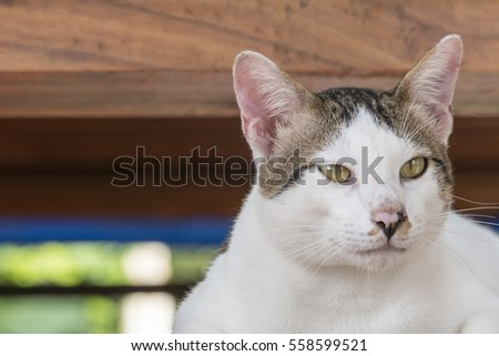 Portrait of cute male Thai cat