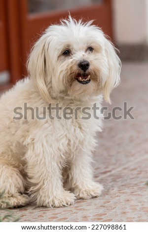 Portrait of cute maltese dog - stock photo