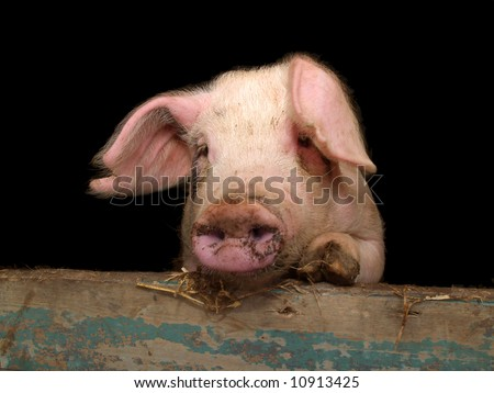 Portrait of cute piglet looking over wall of pigsty