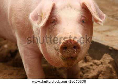 Portrait of cute piglet with dirty snout - stock photo