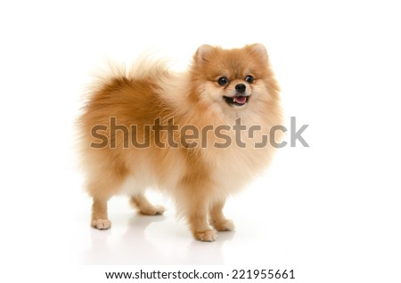 Portrait of  cute pomeranian spitz isolated on white back ground - stock photo