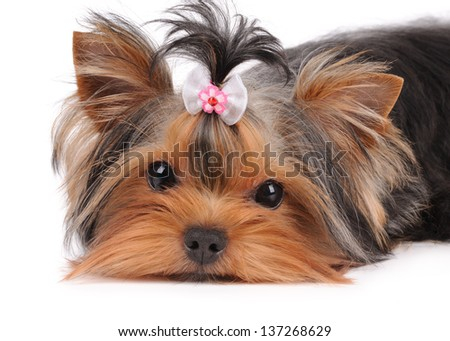 Portrait of cute puppy lying on white - stock photo