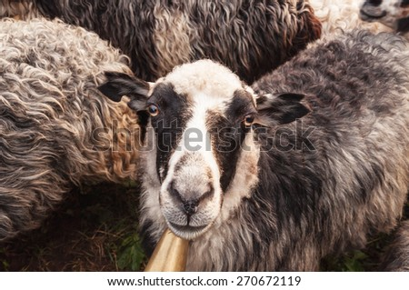 portrait of cute sheep in herd looking at camera - stock photo