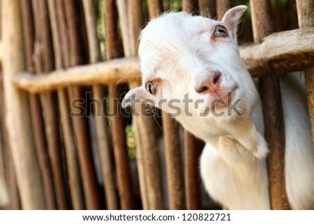 Portrait of cute small goat - stock photo