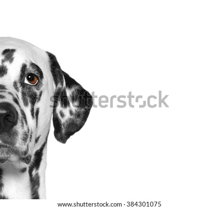 Portrait of dalmatian dog breed. Isolate. White background - stock photo