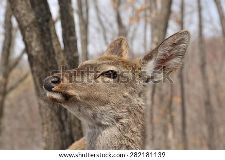 portrait of deer, deer female in park in winter, deer in the forest - stock photo