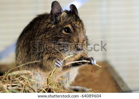 Portrait of degu eating hay - stock photo