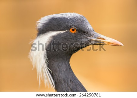 Portrait of  demoiselle crane (Anthropoides virgo) - stock photo