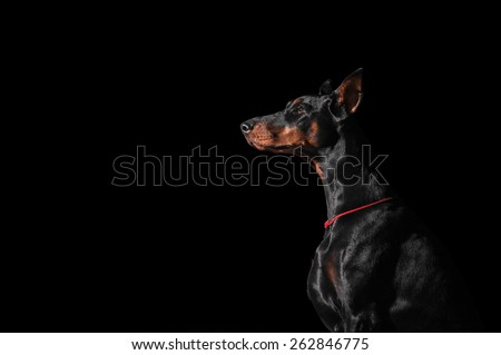 Portrait of Doberman - stock photo