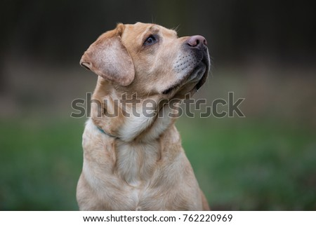 Portrait of dog breed Labrador Retriever