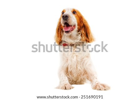 Portrait of dog breed Russian Spaniel sitting isolated on white background - stock photo
