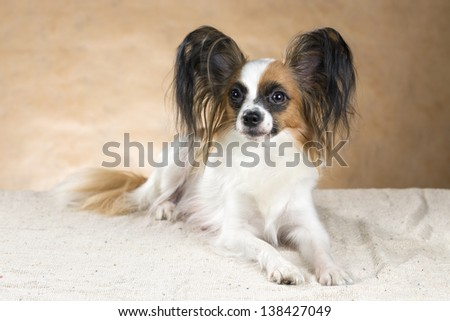 Portrait of dog breeds Papillon on a beige background